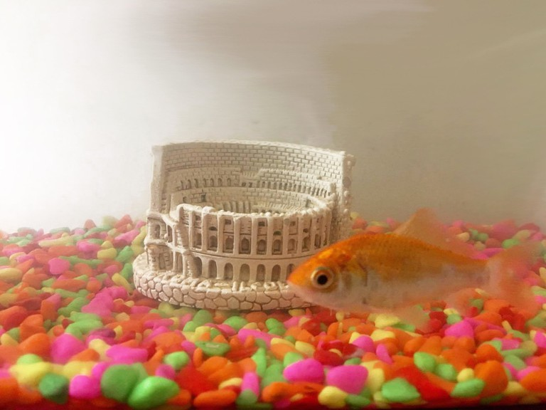 One happy Roman goldfish | Courtesy of Rosa Venn
