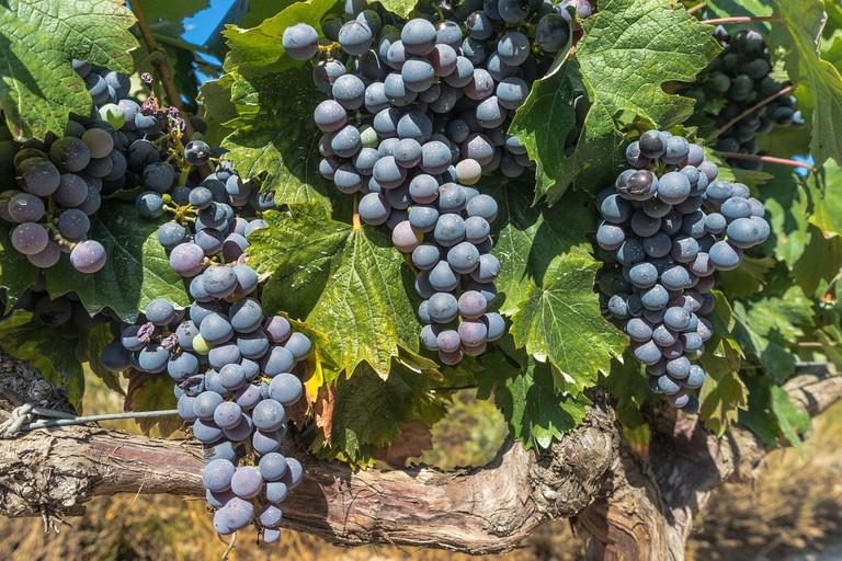 Tempranillo grapes on the vine in Castilla y Leon, Spain