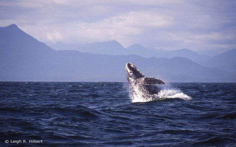 A humpback breaching the waves
