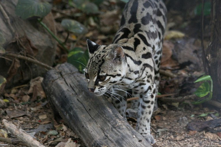 The elusive ocelot