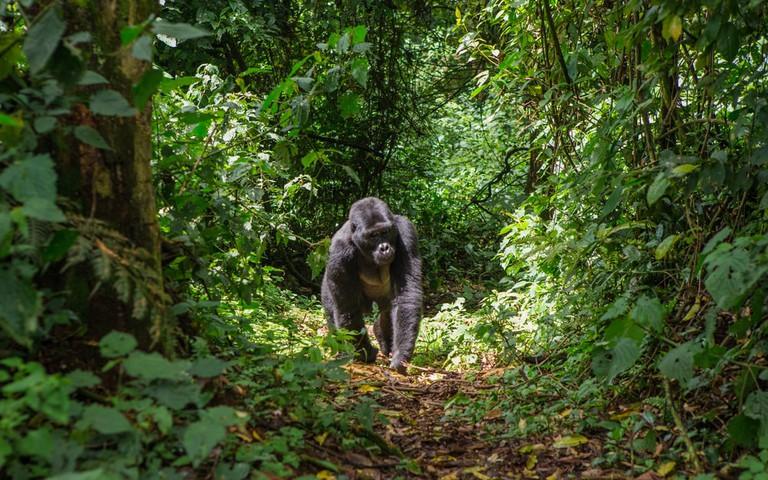 Mountain Gorilla wandering the jungle