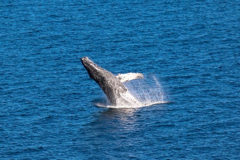 Breaching Humpback whale in Baja California, Mexico
