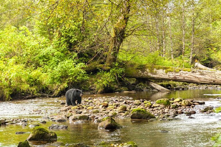 Bear spotting near Bella Coola