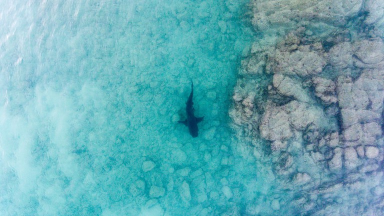 Bull Shark swimming in the Sea of Cortez, Mexico