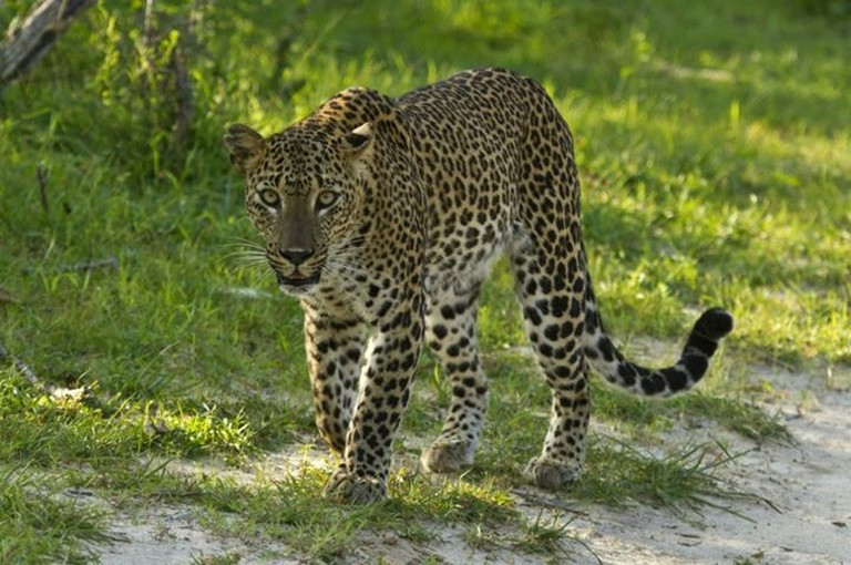 *photo sourced from Leopard Trails photo database with permission* Leopard caught on camera at Yala National Park