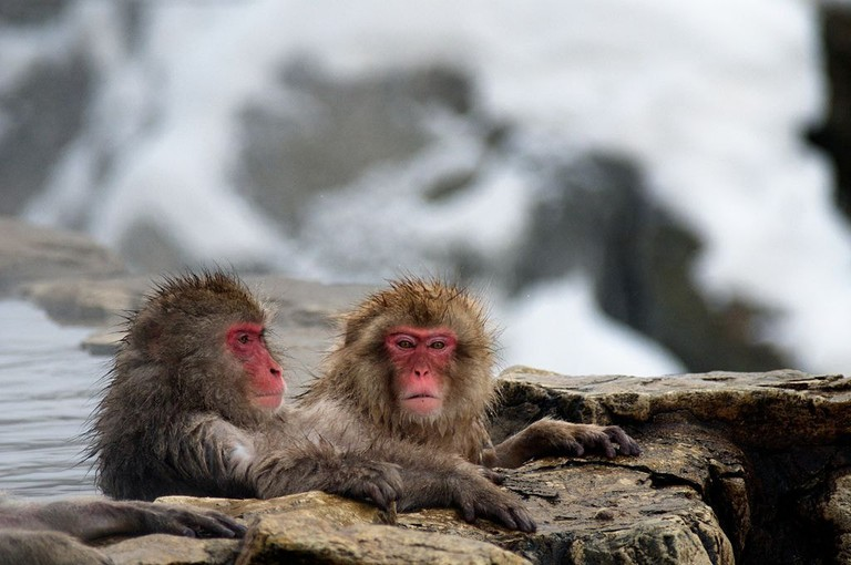 1024px-Japanese_Macaque_Fuscata_Image_367