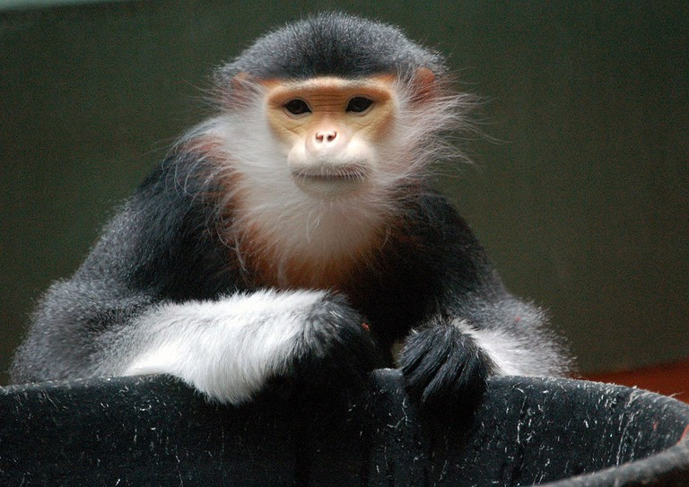 Red-Shanked Douc Langur | © Art G./WikiCommons