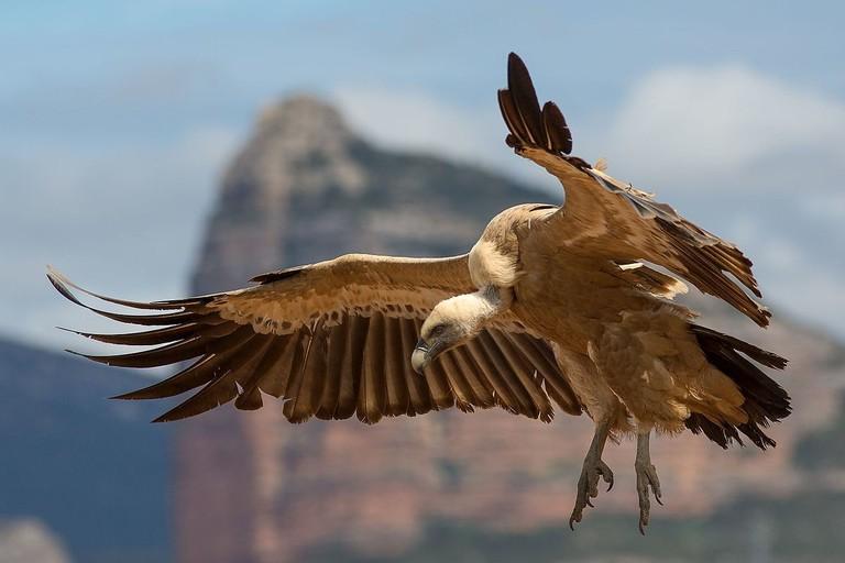 Go vulture spotting in Spain | ©Pierre Dalous / Wikimedia Commons