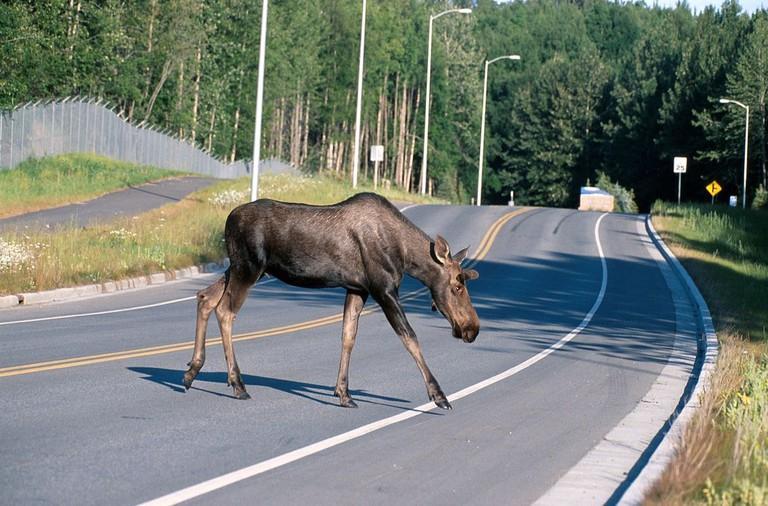 1200px-Moose_crossing_a_road
