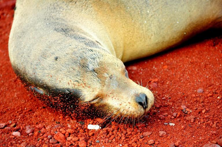 Sea lion sleeping on the red sand beach of Rabida Island in the Galapagos Islands