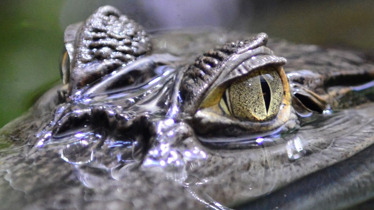 Keep an eye on any smooth-talking caiman you meet