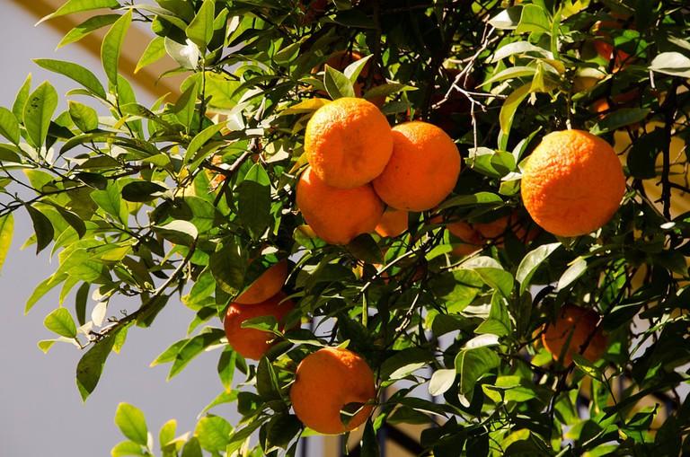 An orange tree in the Santa Cruz neighbourhood of Seville