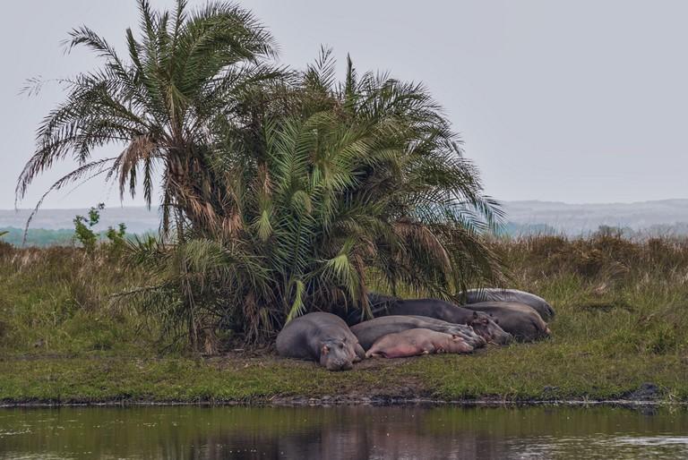 Pod of hippos under a palm tree