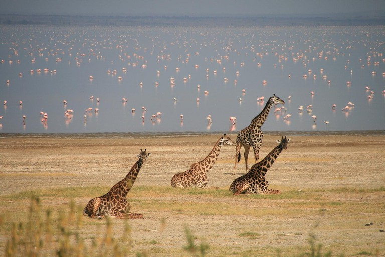 Giraffe and flamingo at Lake Manyara
