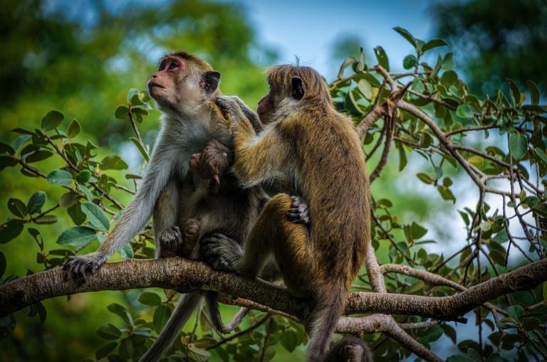 Monkeys in Yala National Park