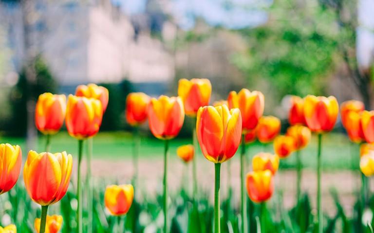 Full bloom at Ottawa's Tulip Festival
