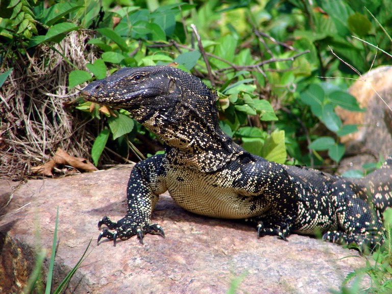 Asian Water Monitor | © Hafiz Issadeen/Flickr