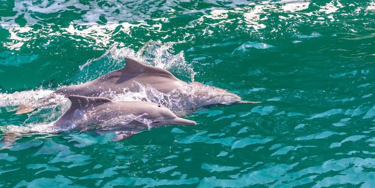 Dolphins of Musandam © Robert Haandrikman