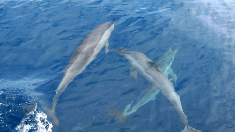 Dolphins swimming off the coast of Mirissa
