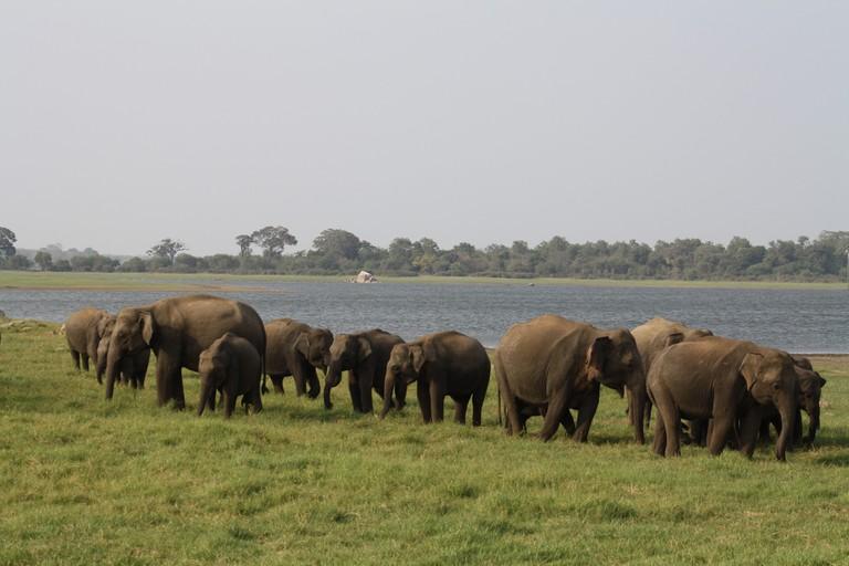 Wild elephants strolling along Minneriya Lake