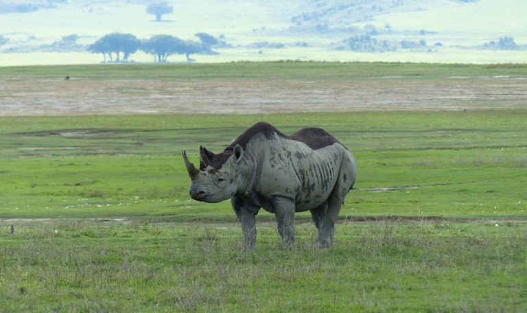 Black rhino in Ngorongoro Crater