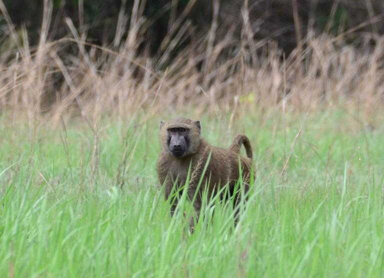 Baboon at Shai Hills