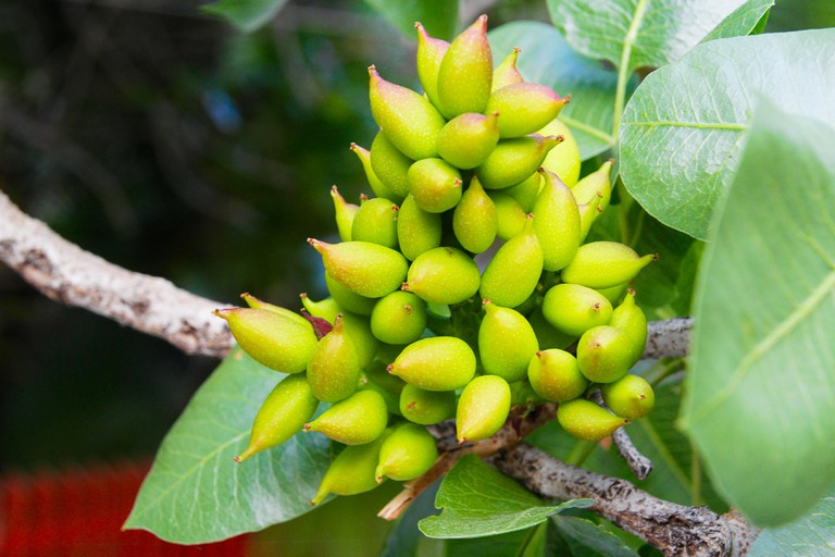A Pistachio tree   ©Grey World:flickr