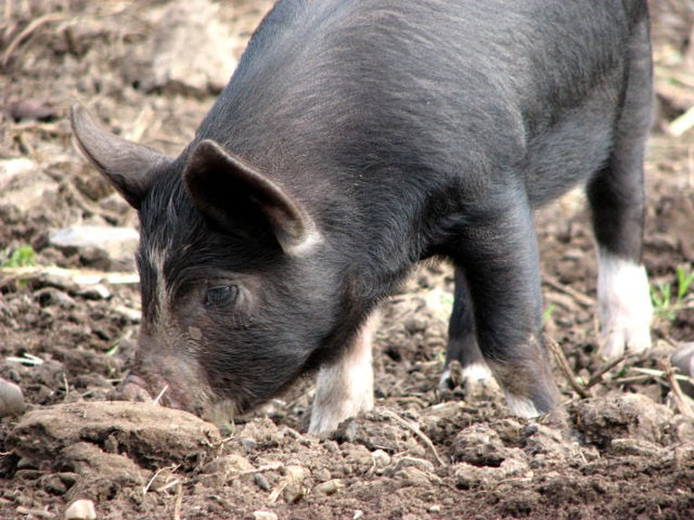 Pigs were traditionally used for hunting truffles