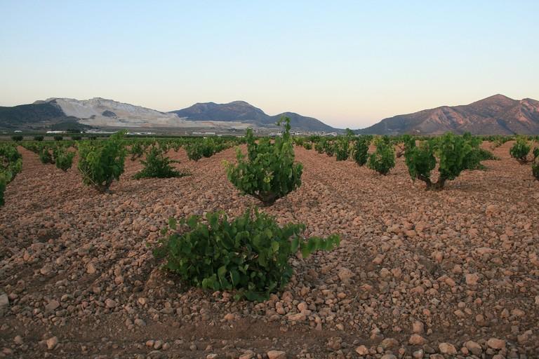 Vineyards in Alicante I