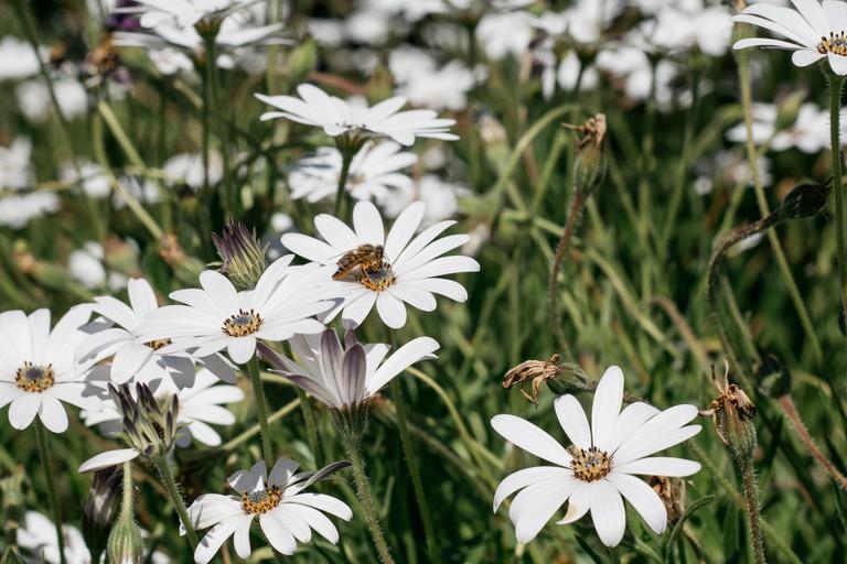 Annuals in Kirstenbosch