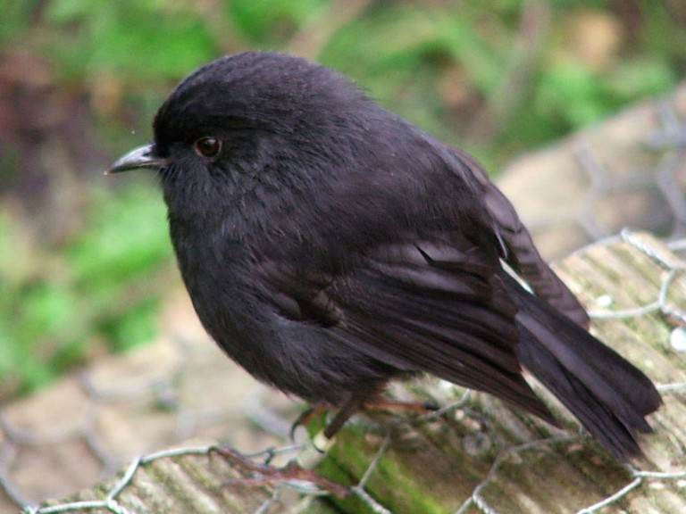 Black Robin On the South East/Rangatira Island, Chatham Islands