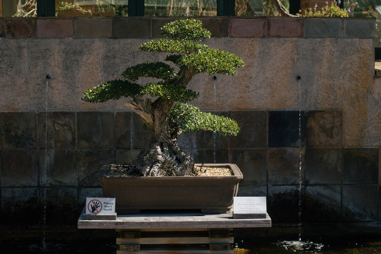 Kirstenbosch is home to several bonsais, and hosts regular bonsai exhibitions