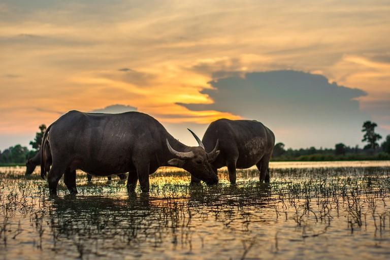 Water Buffalo | © Likedok88/Pixabay