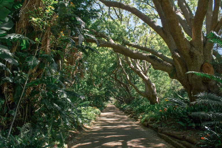 The camphor trees date back to 1898
