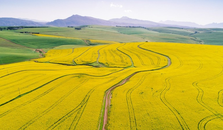 Canola Fields in the Cape Overberg