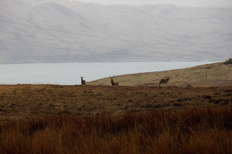 Deers of Jura