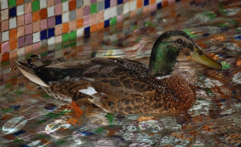 One of the Peabody Ducks