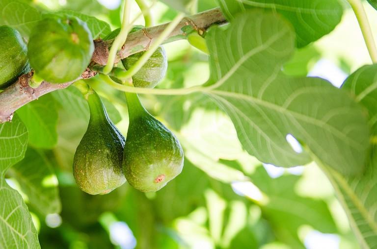 Figs CC0 Pixabay