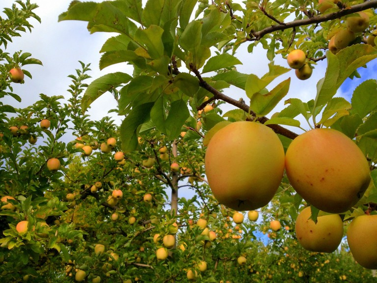 Golden Delicious | © Leslie Seaton / Flickr