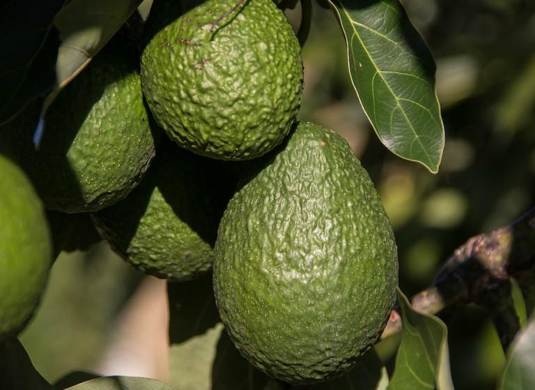 hass-avocado-2685821_1920