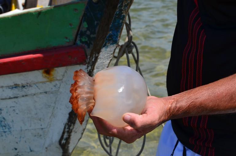 Jellyfish harvest