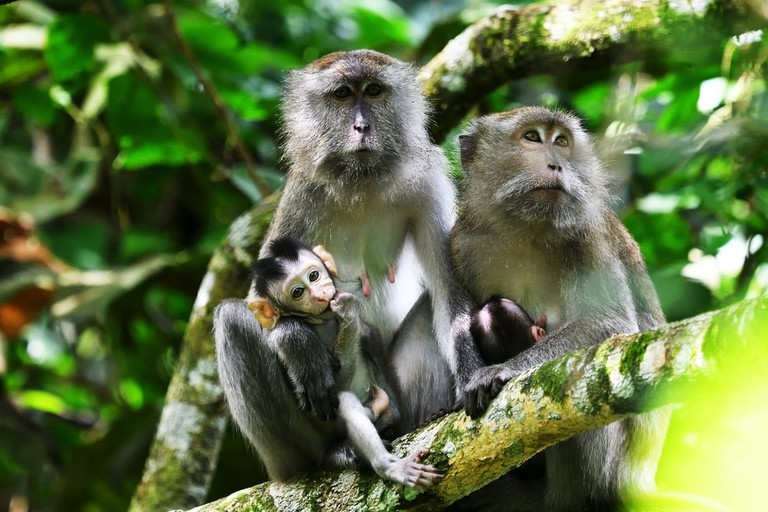 A family of long-tailed marque monkeys