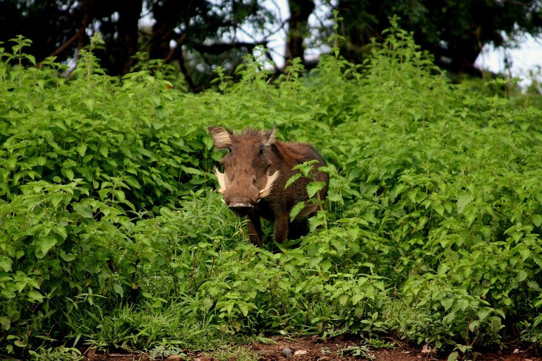 Warthog at Mole