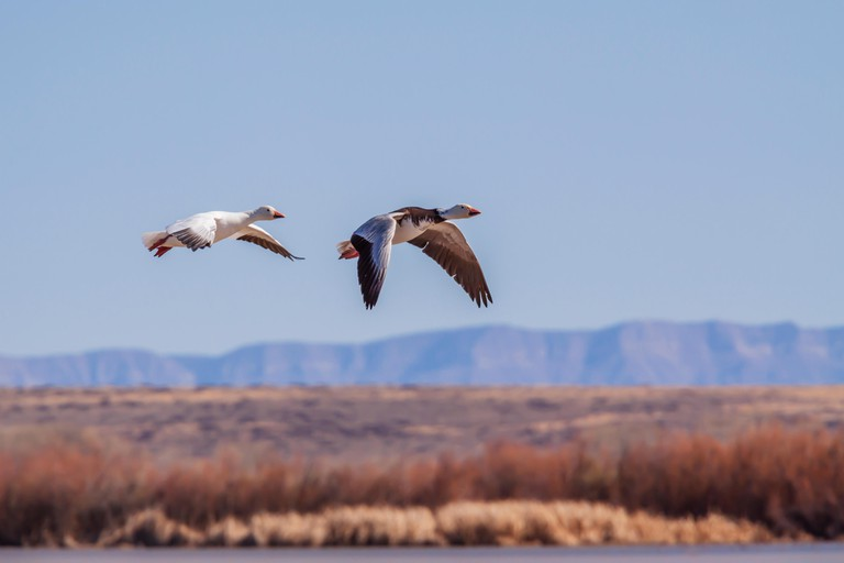 Snow Geese, Chen caerulescens, at Bosque del Apache National Wildlife Refuge. At Bosque, tens of thousands of birds--including sandhill cranes, Arctic