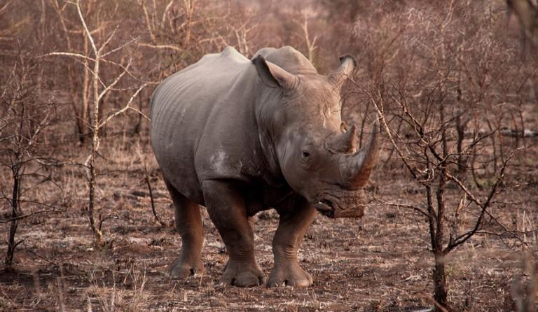 Poaching_rhino