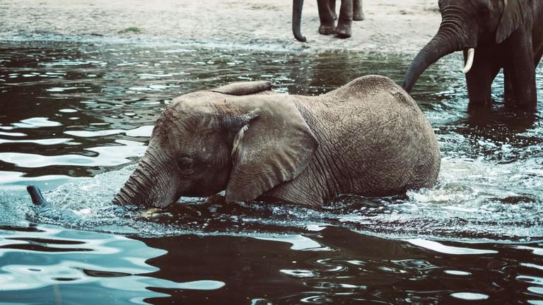Poaching_swimming elephant