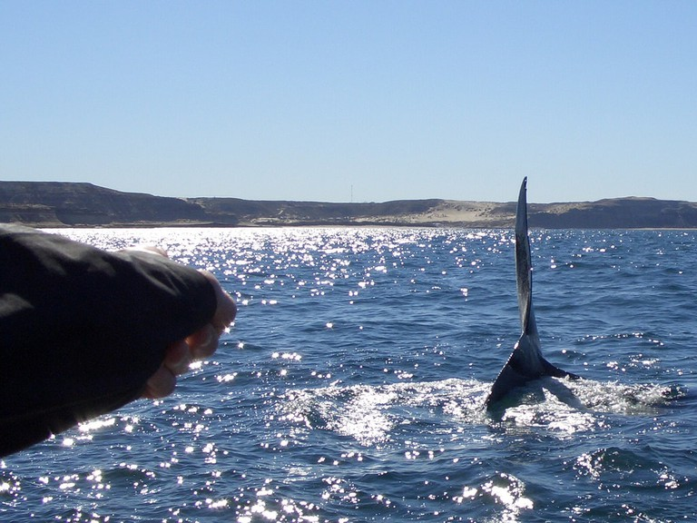 Southern Right Whales in Puerto Madryn