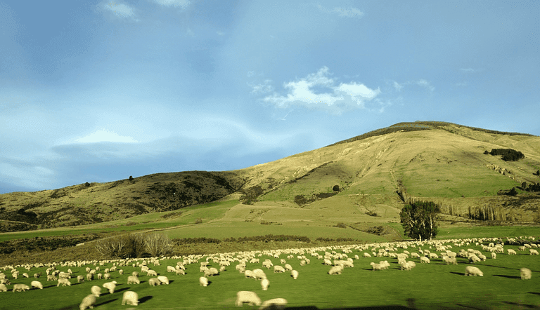 sheep-farm