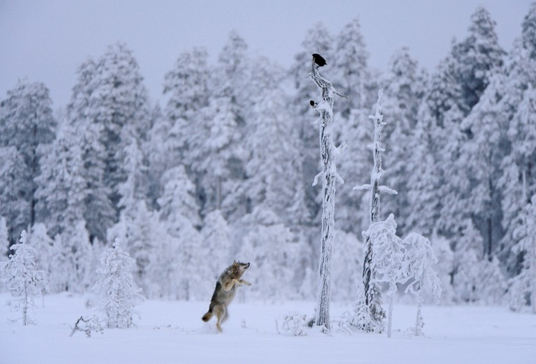 'Wolf jumping'