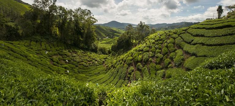 tea-plantation-1698535_1920